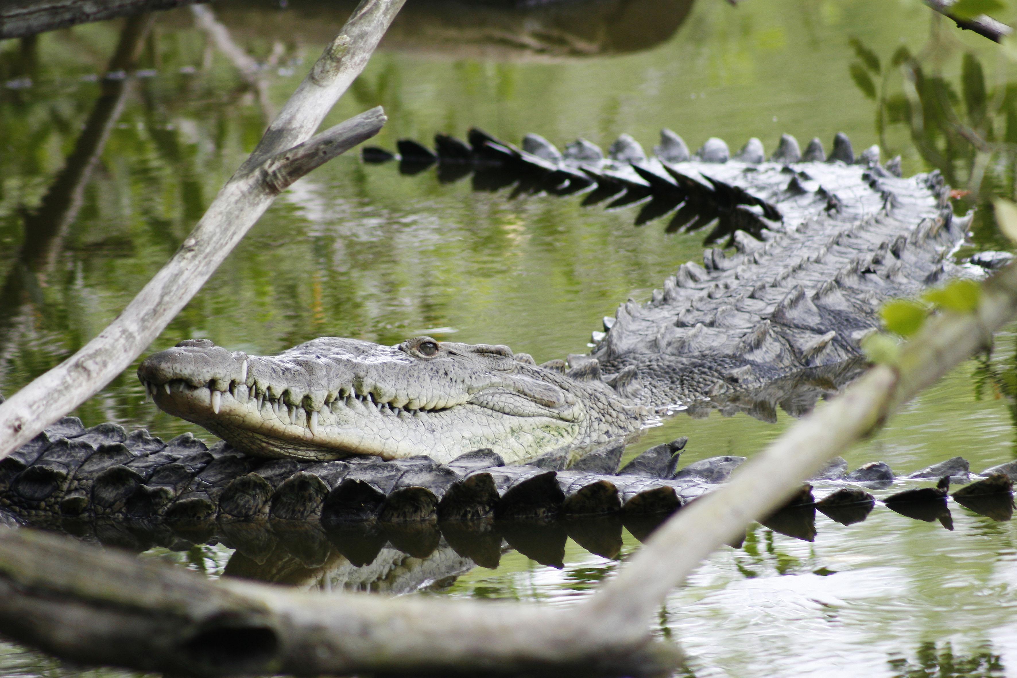 Dos cocodrilos en un pantano, uno tiene la cabeza recostada en la cola del otro