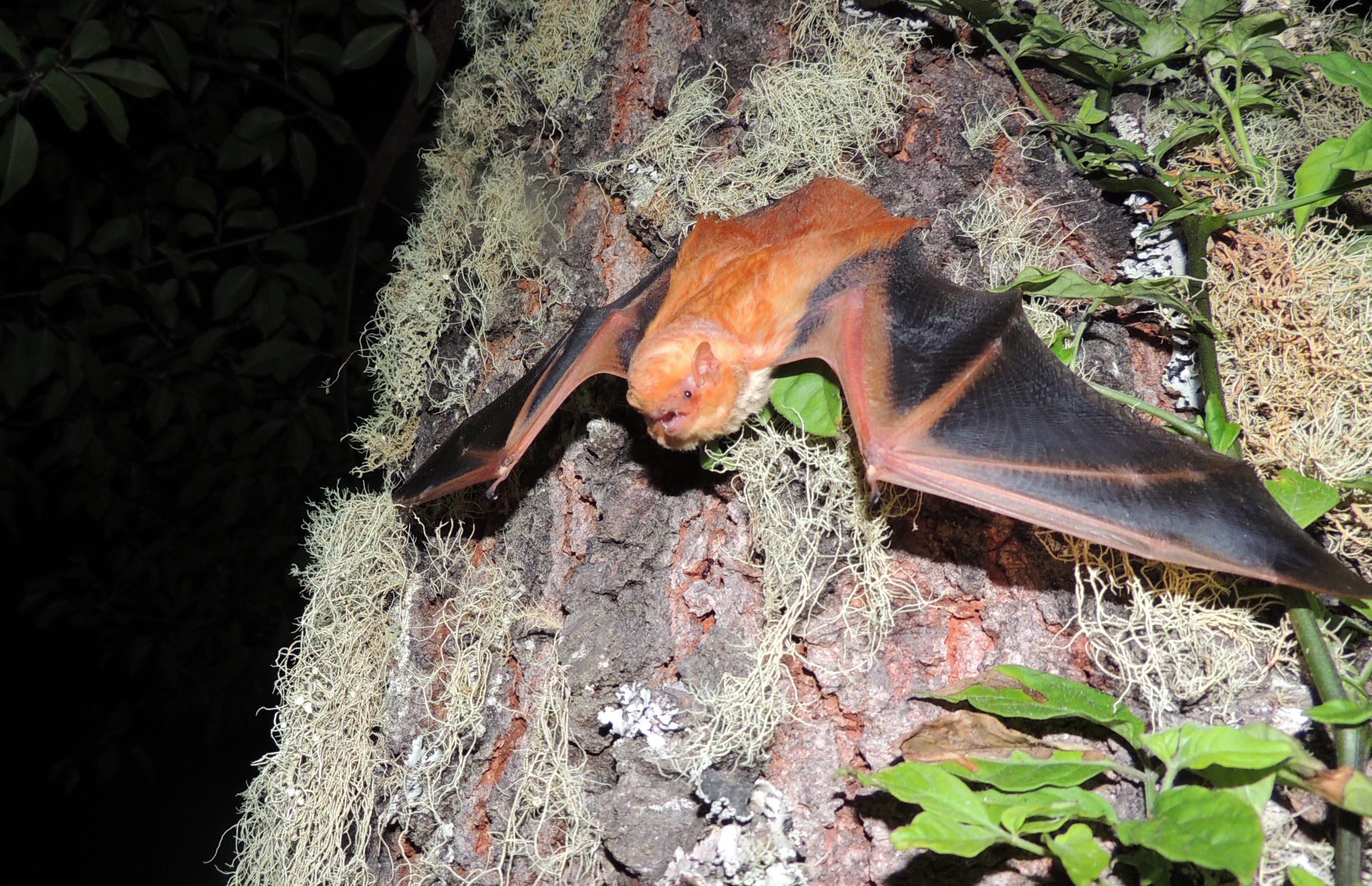 Especie de murciélago protegido de pelo rojizo, postrado en la corteza de un árbol.