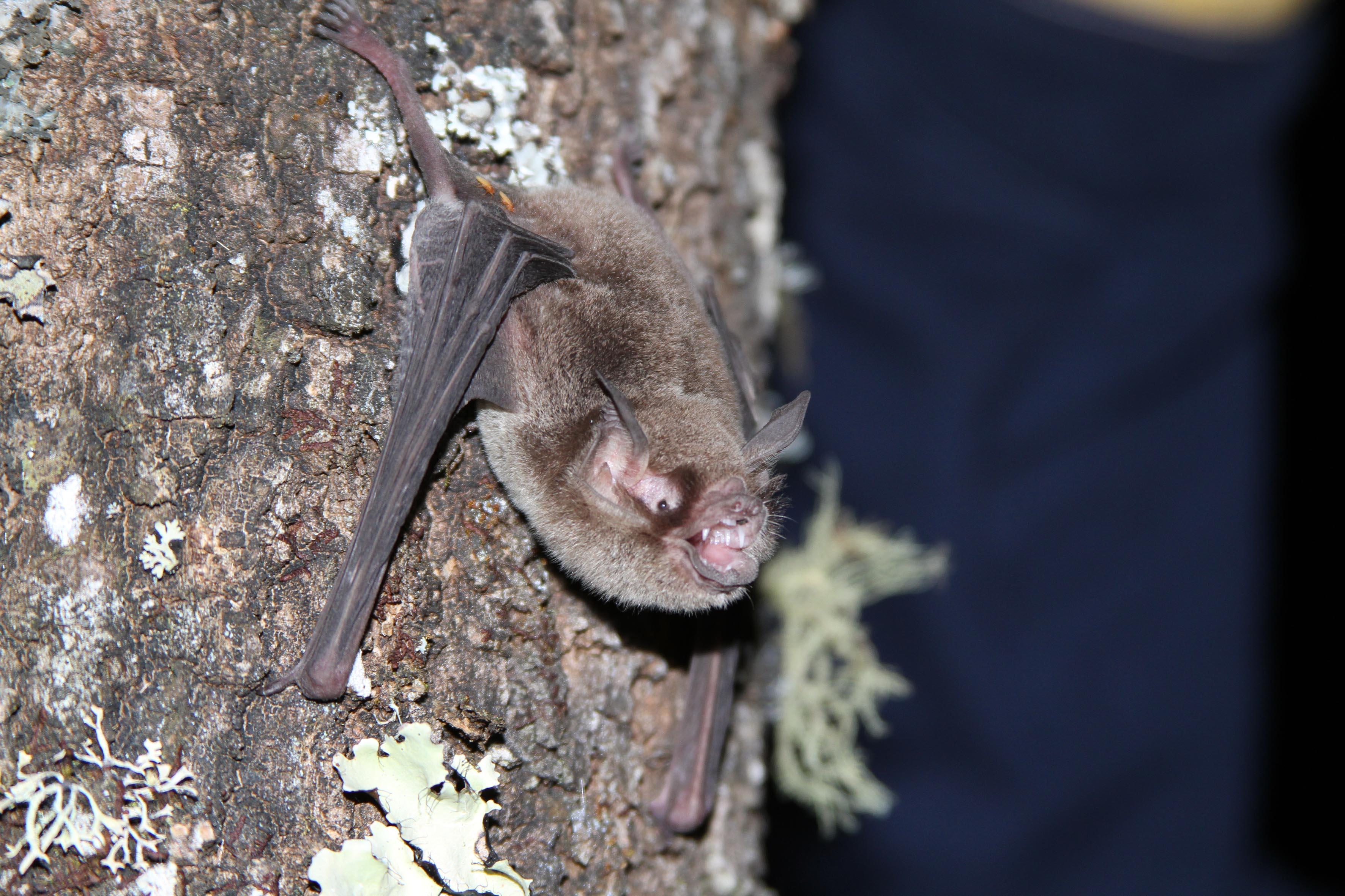 Especie de murciélago de pelo gris, postrado entre la corteza ade un árbol.