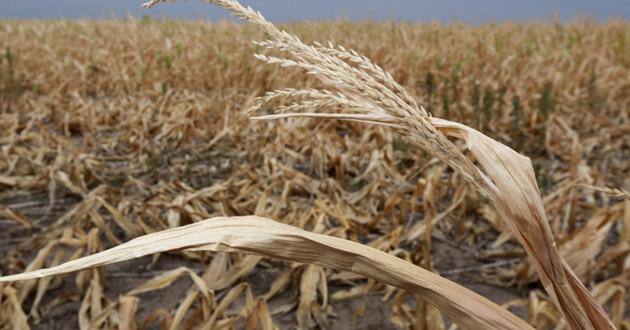 Cultivo agrícola afectado por sequía