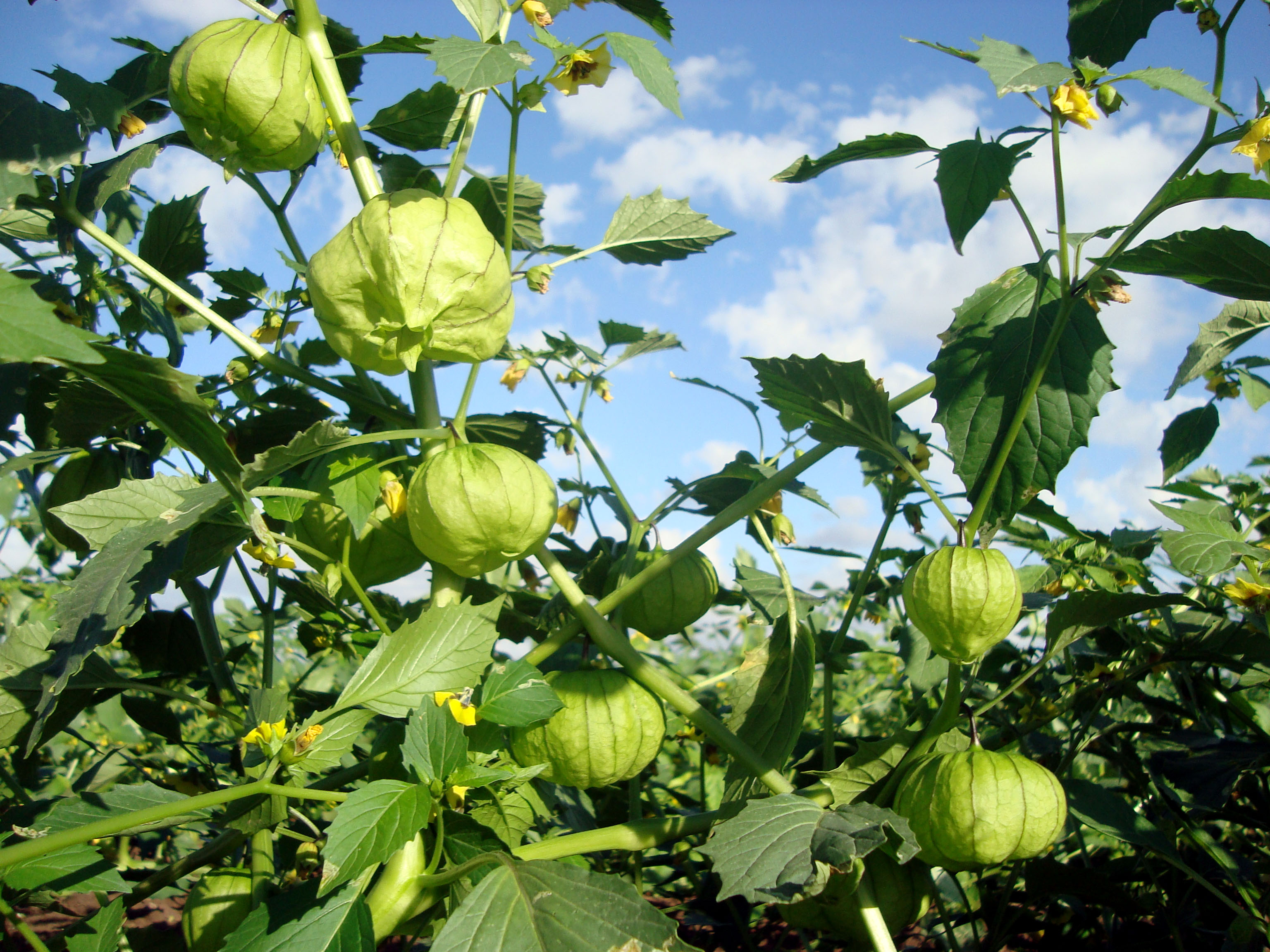 Planta de tomate verde de cáscara.