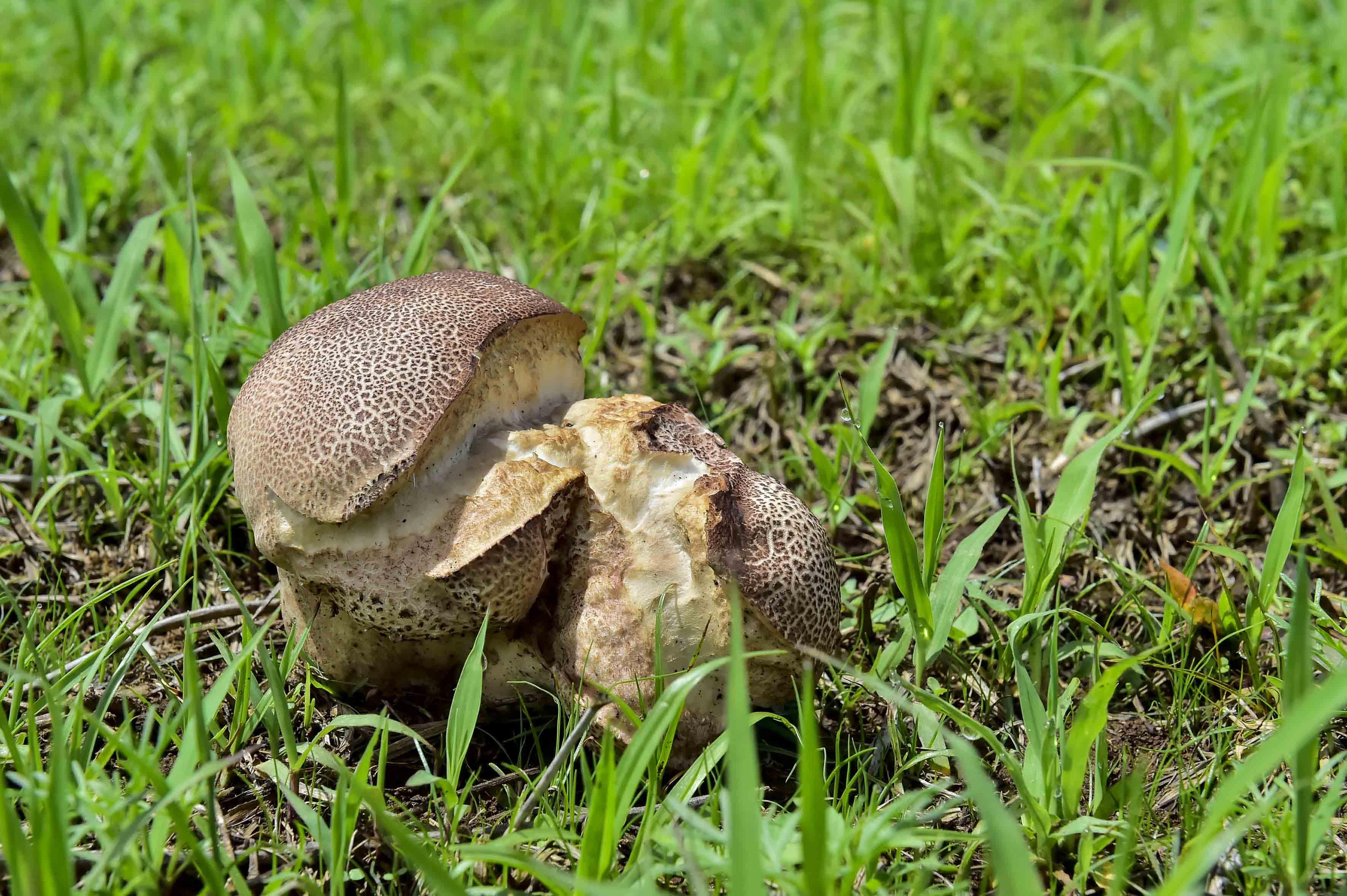Calvatia sin determinar, especie de hongo surgida en la región Sierra Occidental.