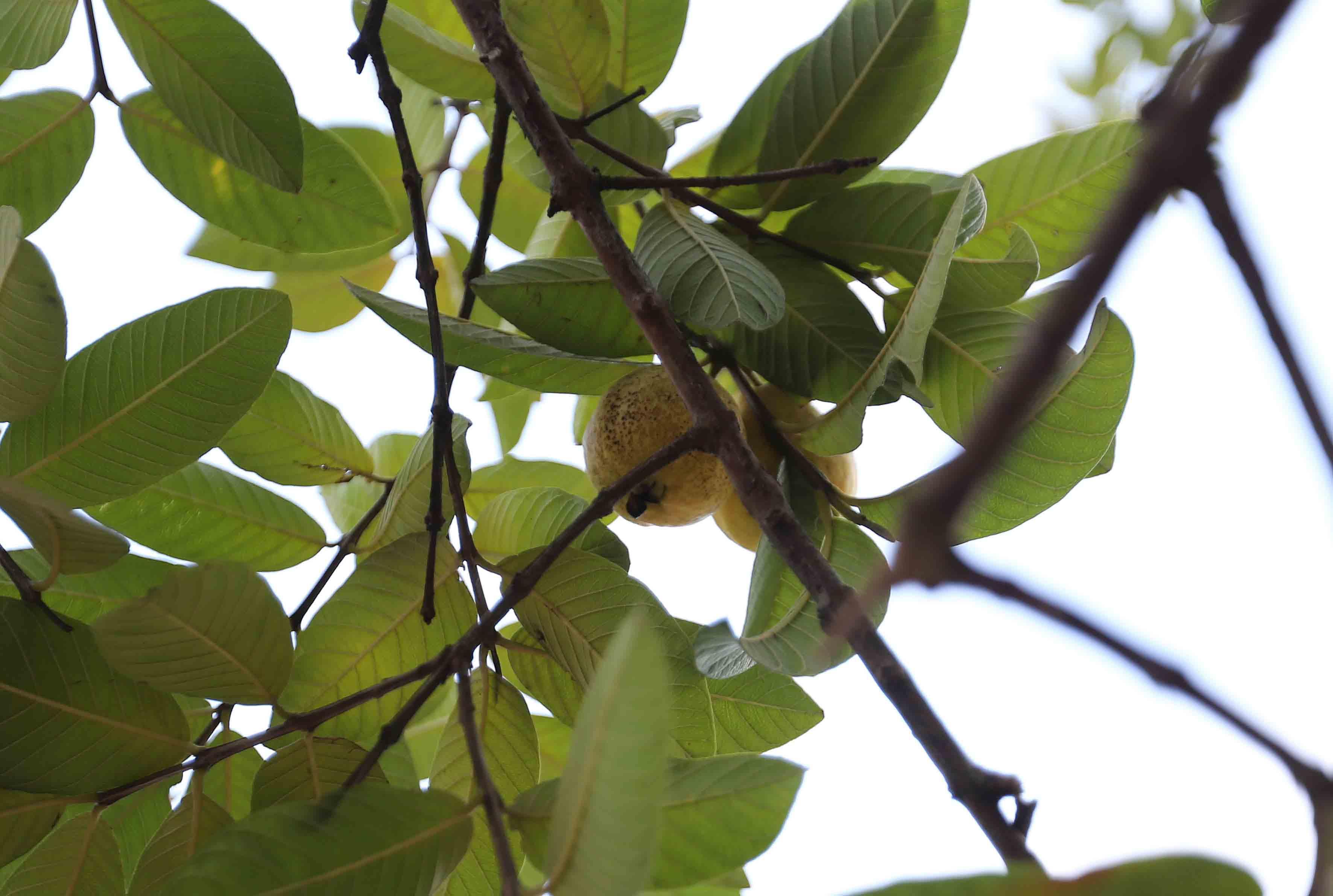 Guayabas maduras colgando de sus árbol frutal.