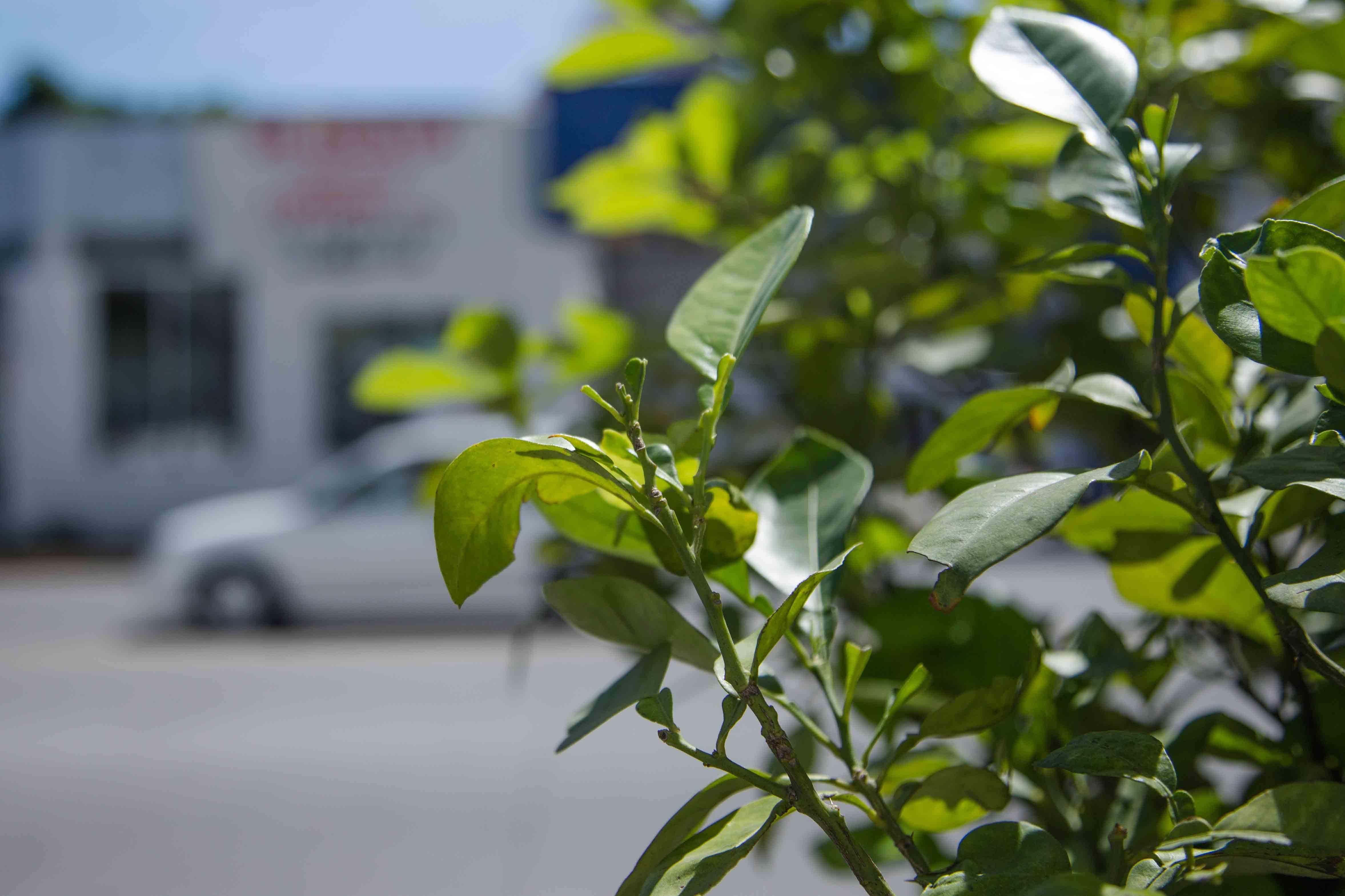 Árbol frutal en zona urbana.