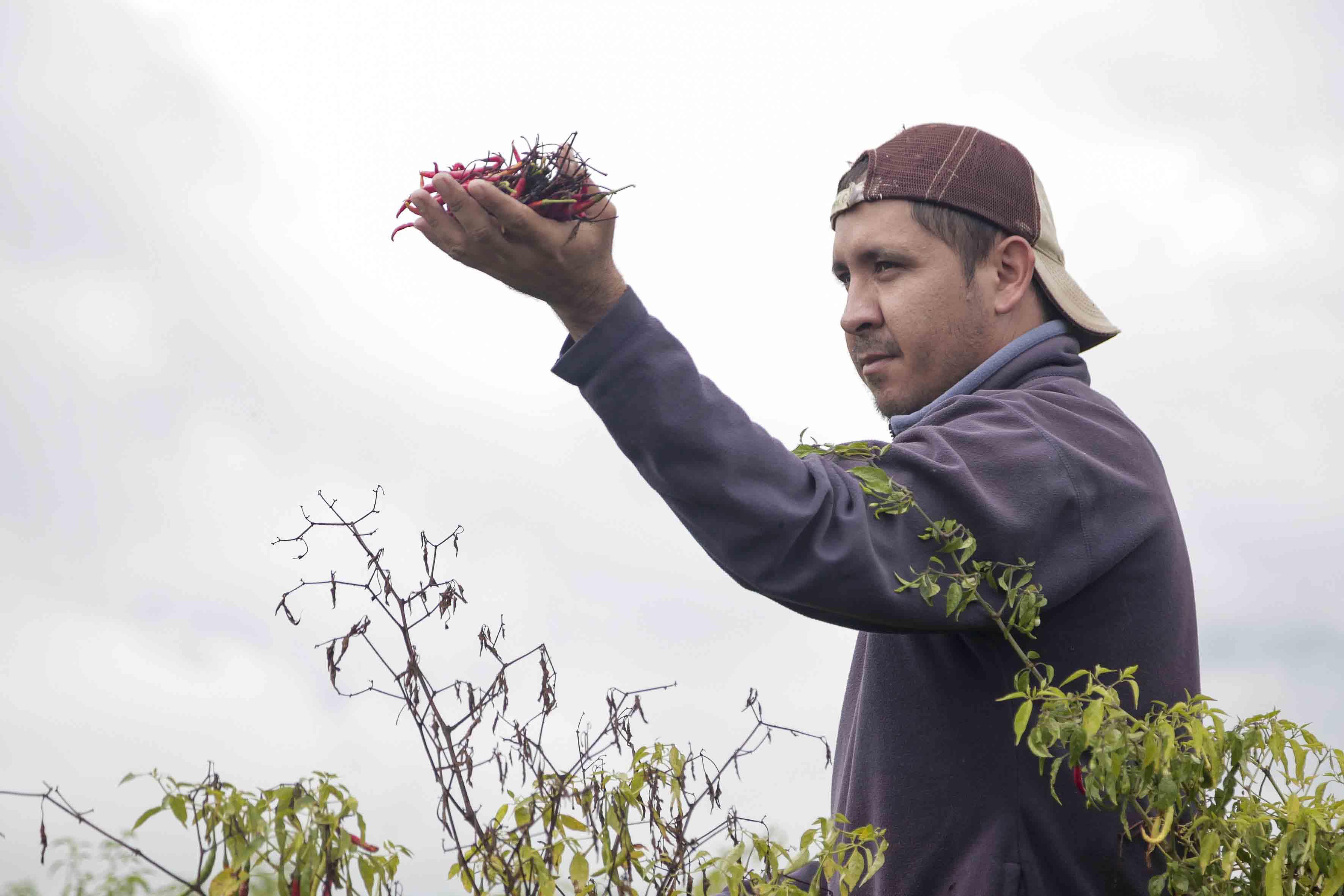 Agricultor de la comunidad de Manalisco, cercana a Yahualica, mostrando la cosecha del chile de árbol Yahualica.