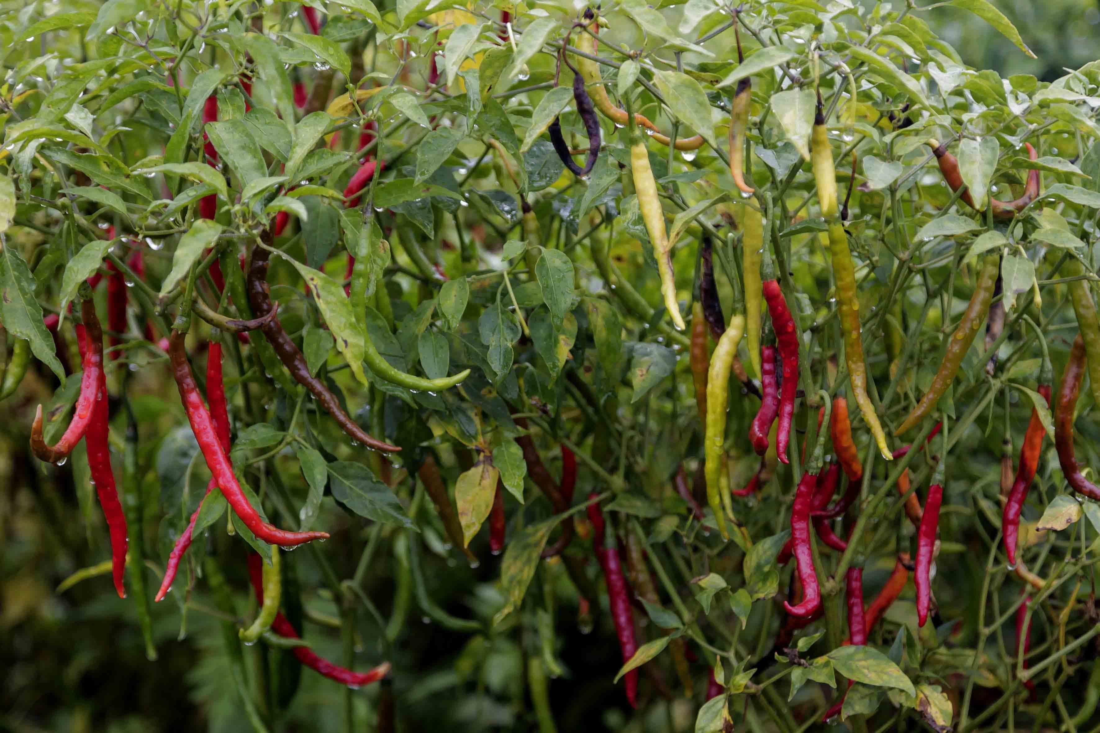 Cultivo del chile de árbol Yahualica, en sus diferentes etapas de madurez.