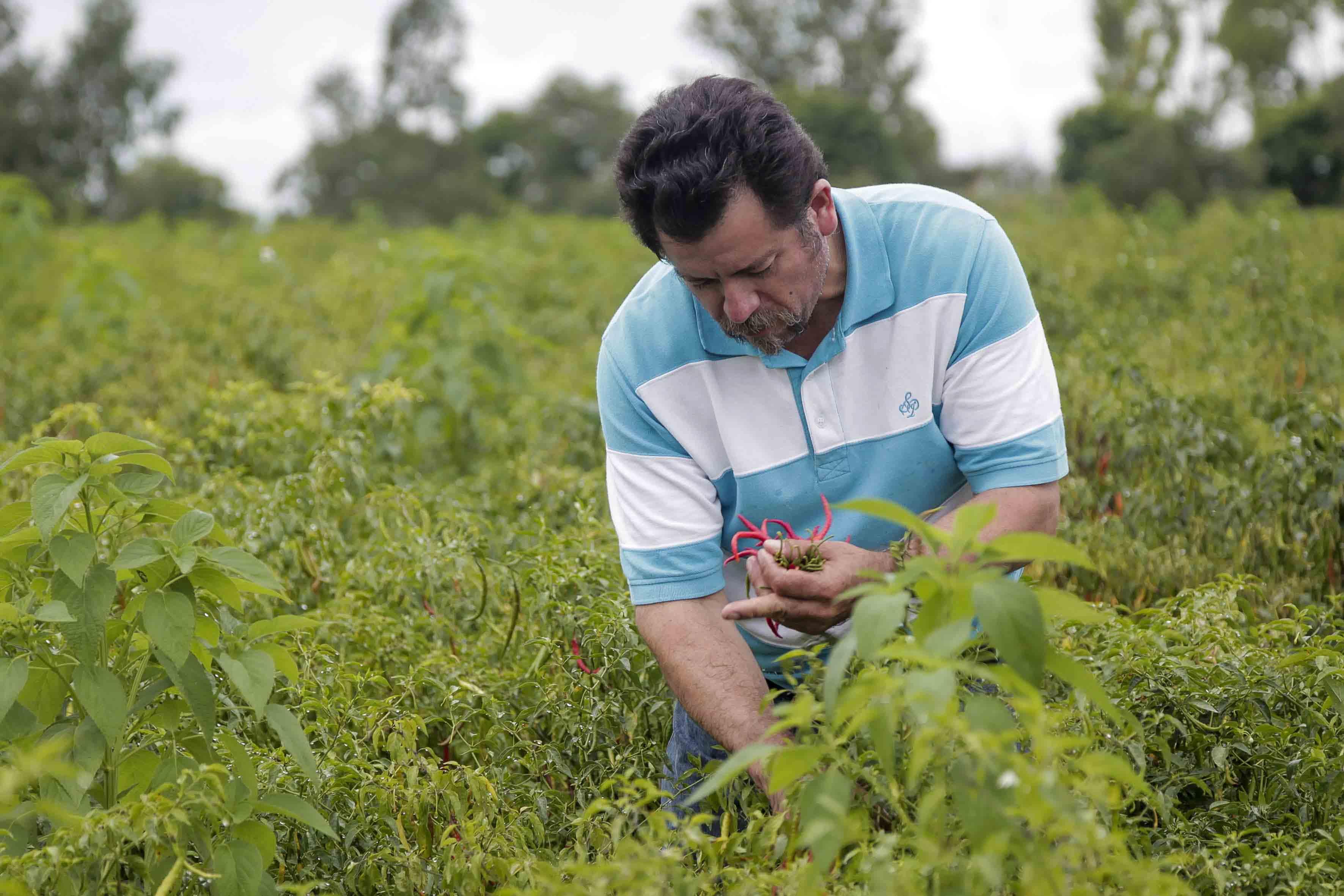 Luis Antonio Plasencia, agricultor de la comunidad de Manalisco, cercana a Yahualica, cosechando chiles de árbol Yahualica.