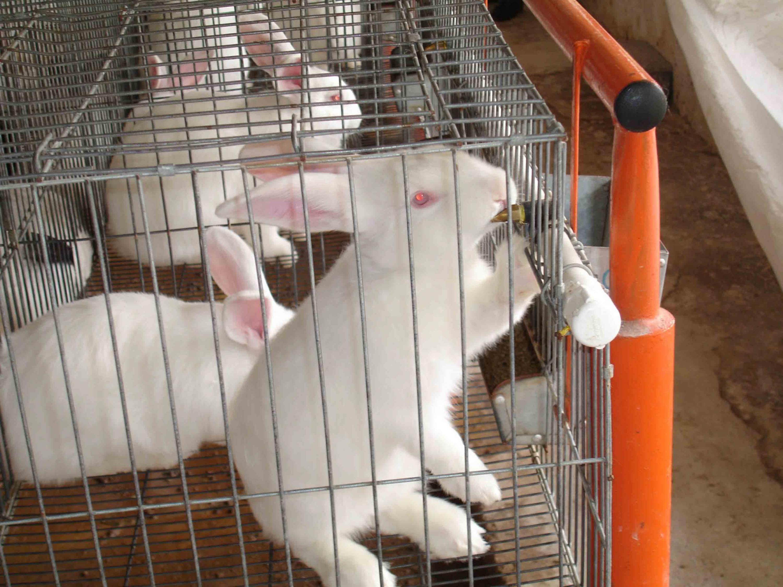 Conejo enjaulado tomando agua