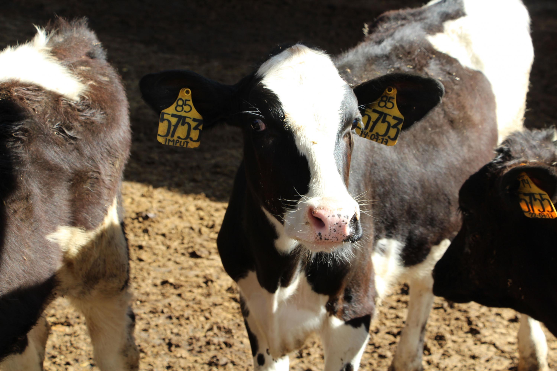 Vacas etiquetas en su oreja con número, código y fecha de producción