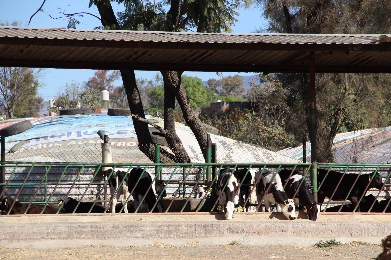 Vacas comiendo forraje y ensilaje desde su corral.