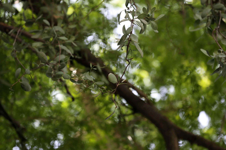 El muerdago se enreda a las ramas y extrae los nutrietes del arbol parasitado