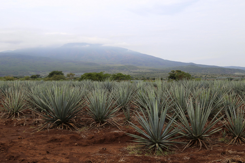 Campos de cultivos de agave de la región de la Ciénega.