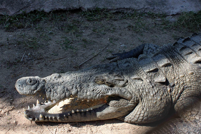 Un cocodrilo adulto recostado en la area de un estero en Vallarta
