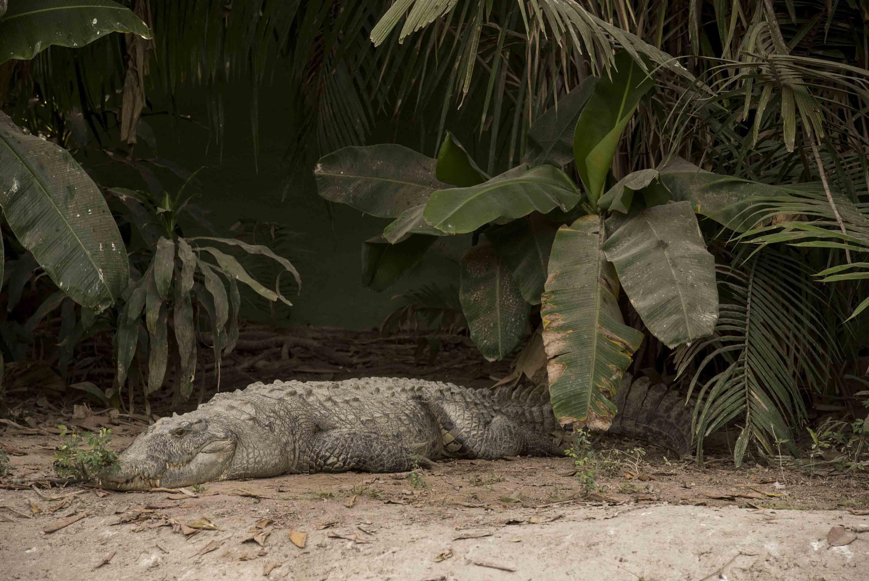 Un cocodrilo que habita en el cocodrilario de CUCOSTA acostado en la arena