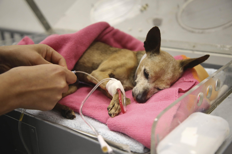 Perro Chihuahua siendo atendido
