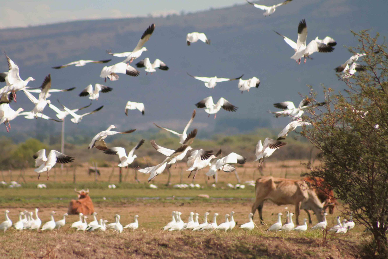 Aves migratorias, aterrizando por la zona árida de la Laguna de Sayula.