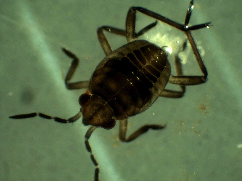Insecto acuático de la Laguna de Sayula.