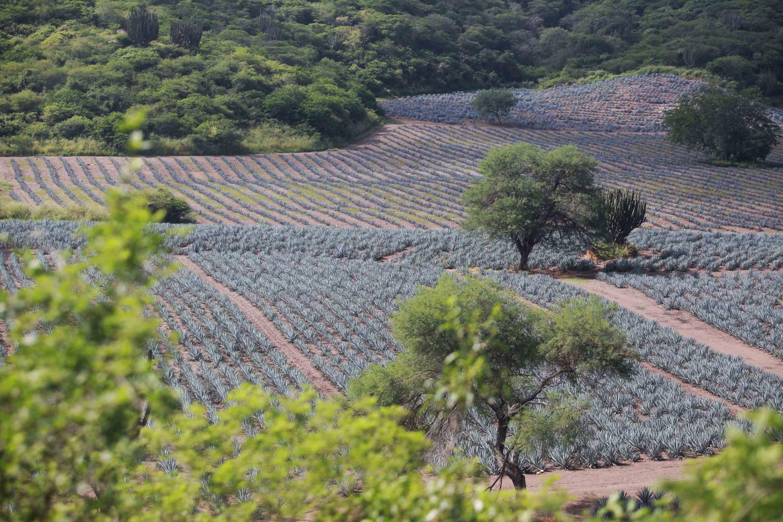 Paisaje rural, con cultivo de agave