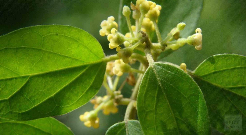 La planta Gymnema sylvestre