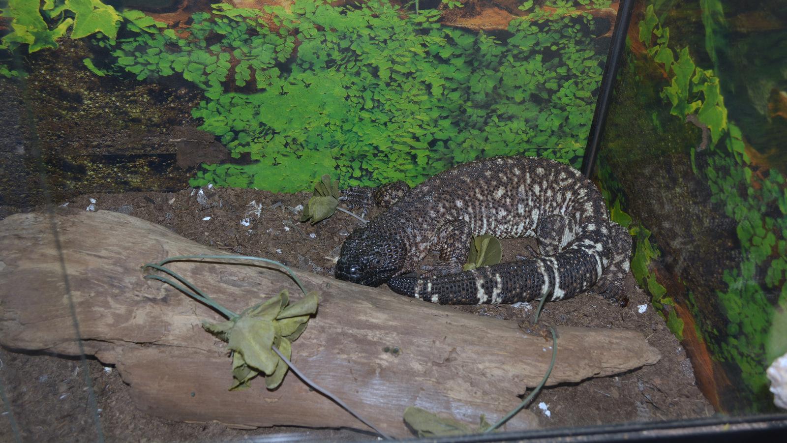 Reptil exhibido en la exposición biológica del CUCSUR